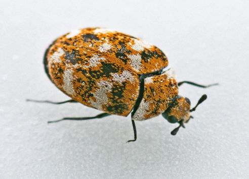 Carpet Beetles | Axholme Pest Control Services