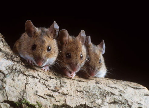 Mice | Axholme Pest Control Services