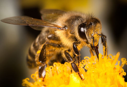 Bees | Axholme Pest Control Services