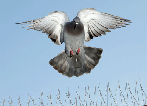 Pidgeons and Birds | Axholme Pest Control Services