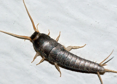 Silverfish | Axholme Pest Control Services