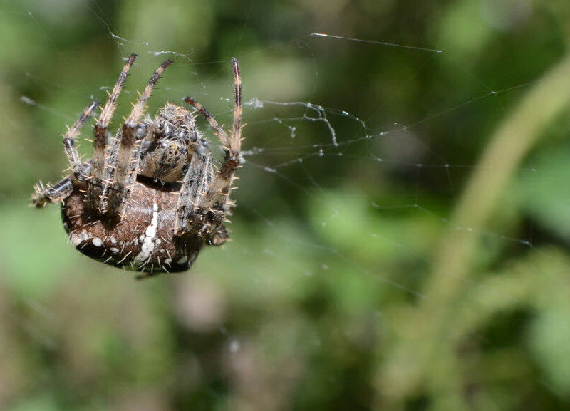 Spiders | Axholme Pest Control Services