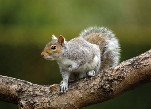 Squirrels | Axholme Pest Control Services