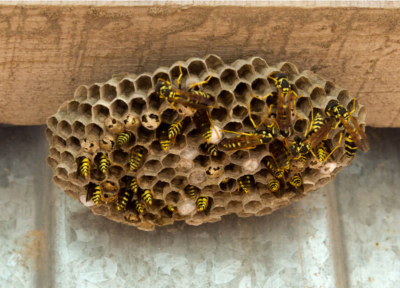 Wasps | Axholme Pest Control Services