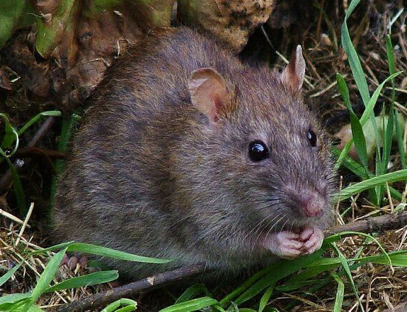 Axholme Pest Control Rodent Control Services